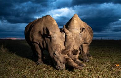 Tạo phôi cứu tê giác sắp tuyệt chủng